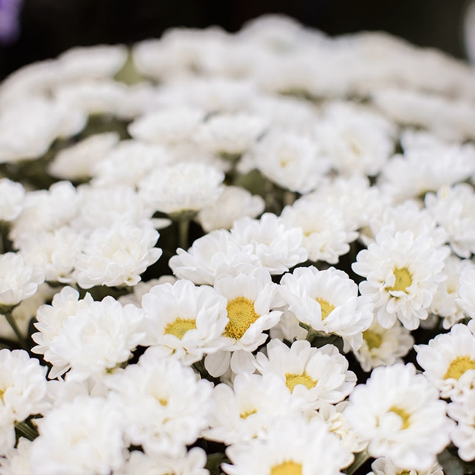 Фото белых хризантем Сантини